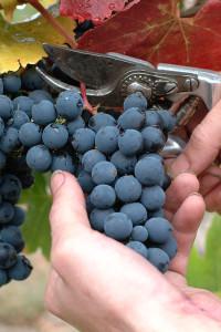 Den richtigen Traubenschnitt lernen die Erntehelfer aus aller Welt vor der Lese